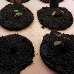 columbine-seedlings