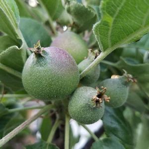 columnar-apple