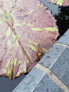 A monarch stopping for a drink in the waterlily garden