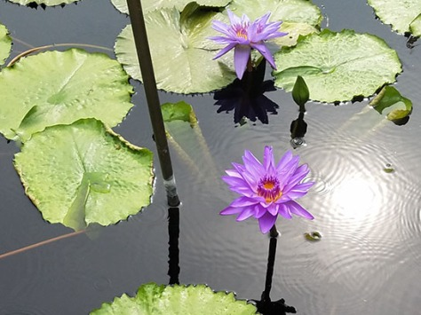 Light rain in the waterlily garden