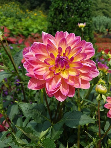 Beautiful dahlia on Flower Walk