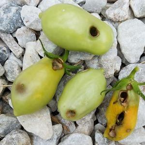 roma-fruitworm-damage