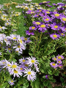 Aster (The birth-flower for September babies!)
