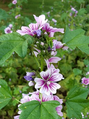 French Mallow