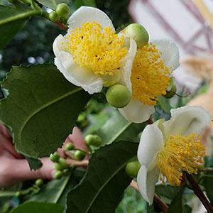koreanteaflowers