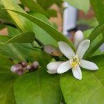 lemonflowers