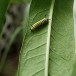 2nd instar caterpillar