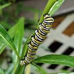 5th instar caterpillar