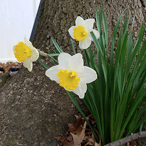 2018-daffodils