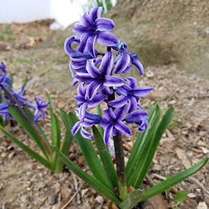 2018-hyacinths