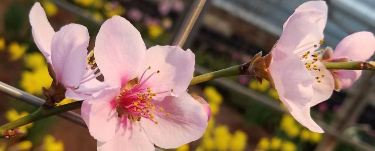 banner-nectarine-flower